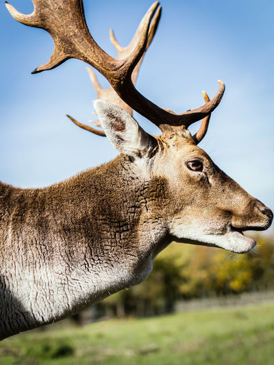Headshot of a stag