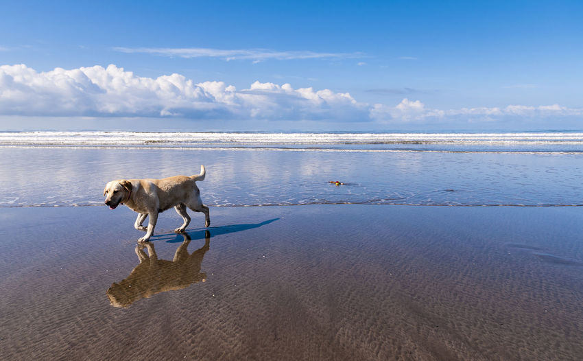 Our Labrador Meg, playing on the beach in Ynyslas, Wales Beach Canine Day Dog Dog Love Dog❤ Labrador Mansbestfriend Mydog Mydog♡ Nature Outdoors Reflections Water