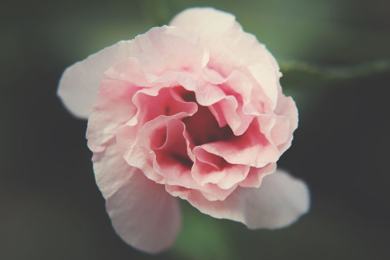hollyhock Flower Petal Beauty In Nature Nature Flower Head Fragility No People Close-up Pink Color Growth Plant Focus On Foreground Rose - Flower Freshness Day Blooming Outdoors Peony  Macro Photography EyeEm Nature Lover Garden Photography EyeEm Gallery Hollyhock