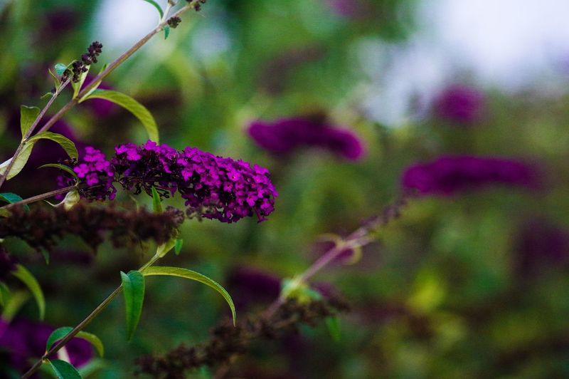 Plant Beauty In Nature Flowering Plant Purple Flower Close-up Freshness Nature No People