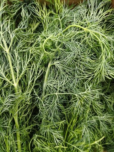 Dill full frame background Dillweed Botweed Seasoning Tasty Dill Backgrounds Cereal Plant Full Frame Agriculture Field Crop  Close-up Grass Green Color Plant Farmland Fennel Plant Bulb Agricultural Field Plantation