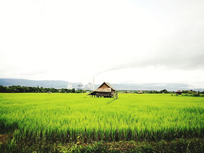 Rice Paddy Cereal Plant Rural Scene Agriculture Irrigation Equipment Rice - Cereal Plant Field Asian Style Conical Hat Crop  Rice - Food Staple