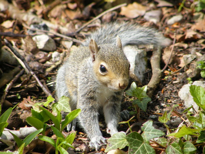 Animal Wildlife One Animal Animal Animals In The Wild Rodent Nature Mammal Outdoors Close-up Animal Themes No People Day Leg Eating Desert Beauty In Nature Squirrell Gray Squirrel Woodland Photography Woodland Wildlife