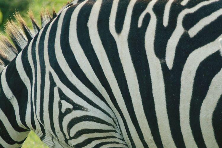 Pivotal Ideas Zebra Zebra #zebraprint #zebrababy #africa #zebrafamily #animalkingdom #animallove #rickeherbertphotography #lakenakurunationalpark What's On The Roll Colour Of Life Black And White Zebra Pattern