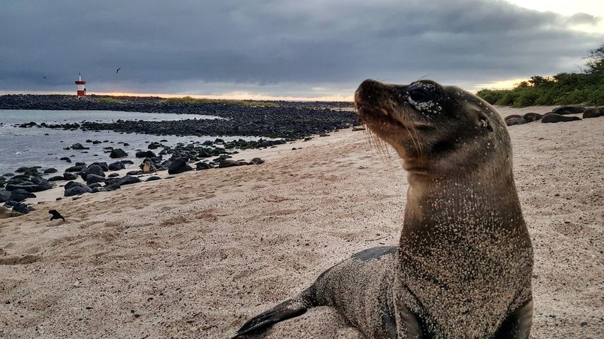 Beach Animal Animal Wildlife Sea Water Animals In The Wild Sand One Animal Nature No People Outdoors Day Mammal Animal Themes Sky Close-up Baby Sea Lion