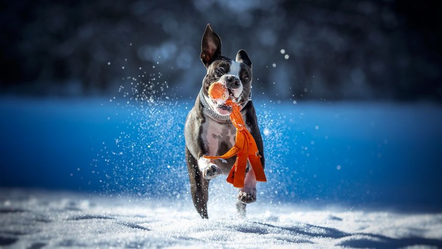 Dog carrying toy in mouth while running on snow