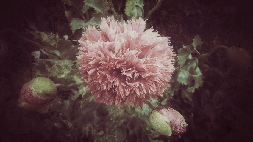 Leaves No People Nature's Diversities Nature On Your Doorstep Garden Photography Spring Floral Flowers,Plants & Garden Garden Green Flower Blossom Blooming Pink EyeEm Best Edits Close-up Poppy PoppySeed Poppy Flowers Poppy Flower Grandmas Garden Grunge Art