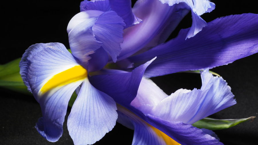 Extreme Close-Up Of Iris Flower