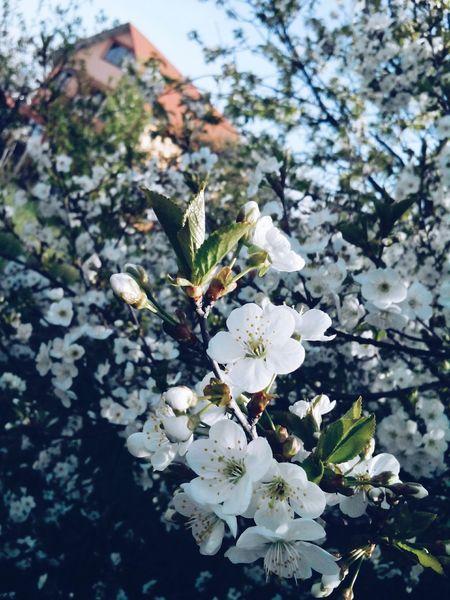 Spring Springtime Kwiaty Flowers,Plants & Garden Flowerporn Spring Flowers Flowerpower EyeEm Flower Flowers :) Flowers