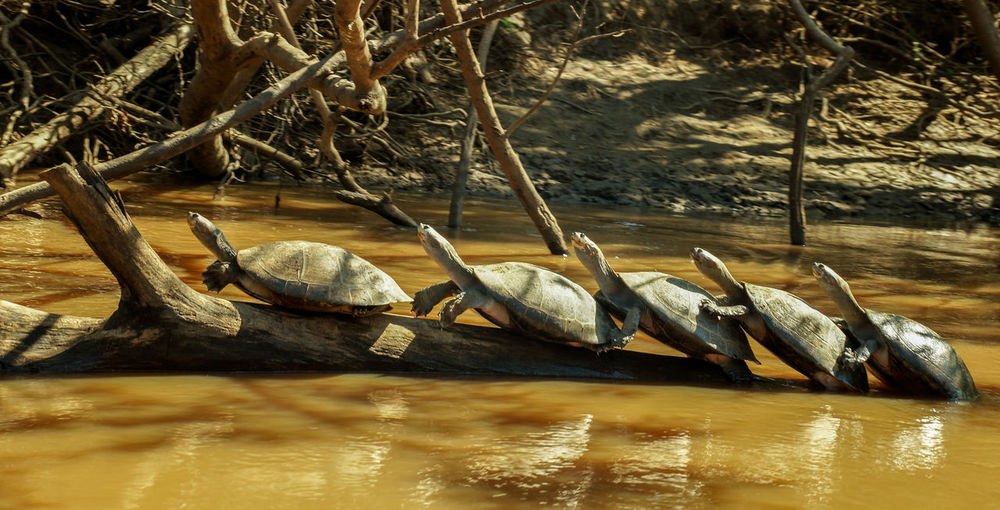 I captured these incredibly well lined up turtle folks in Bolivia's Madidi National Park on a boat tour through the Amazon river. Aren't they adorable? Amazon River Amazonas Bolivia Madidi National Park Turtle 🐢 Turtles Amazon Amazon Rainforest Amazonia Animal Themes Animal Wildlife Animals In The Wild Beauty In Nature Madidi National Park Nature No People Outdoors Tortoise Turtle Turtle Love Water Waterfront