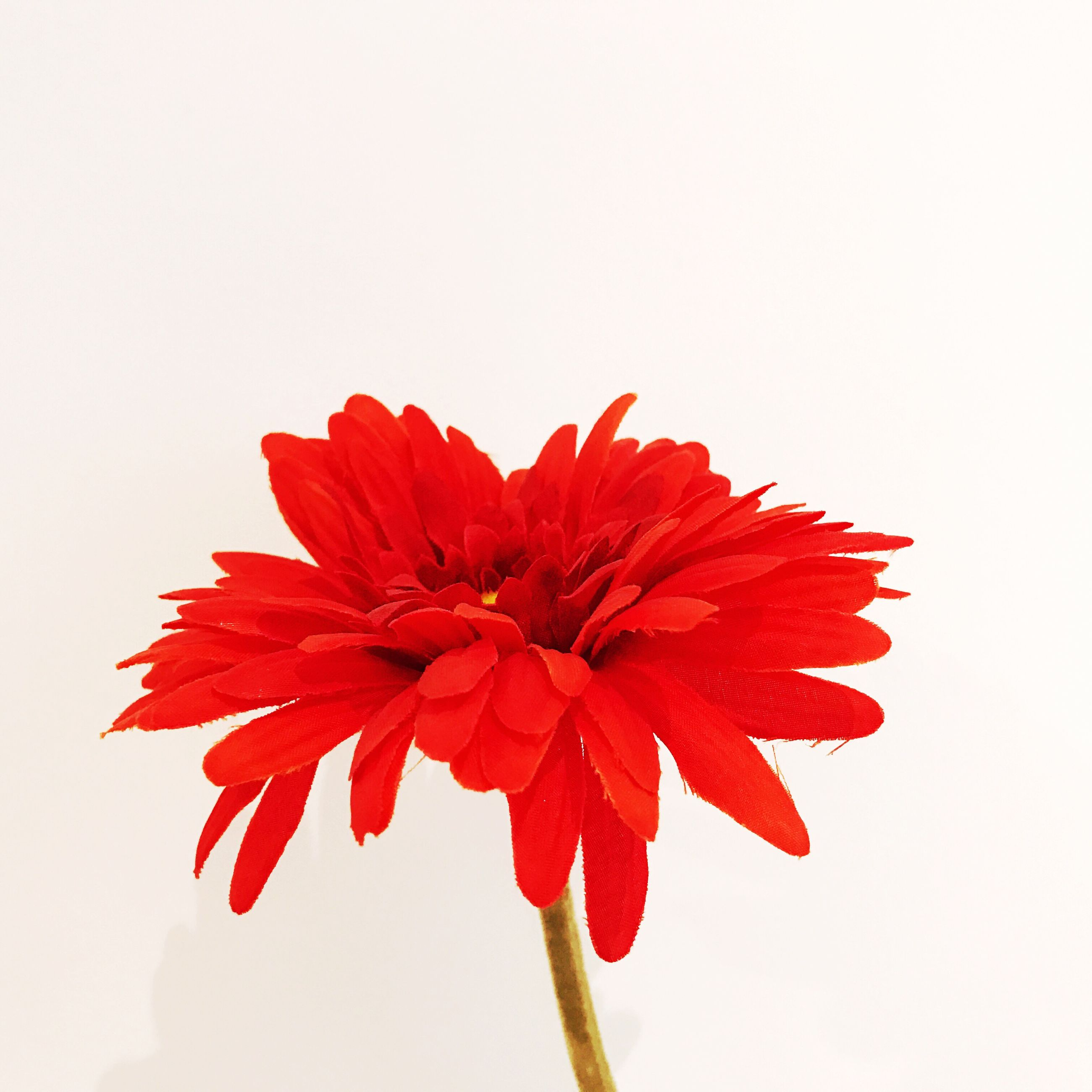 flower, white background, petal, studio shot, flower head, red, fragility, freshness, beauty in nature, copy space, nature, growth, close-up, no people, plant, blooming, hibiscus, day