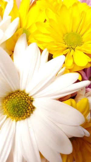 Spring is here Daisy 🌼 Spring Flowers Pollen Stamen Close-up Plant In Bloom Blossom Focus Wildflower