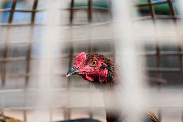 Fighting rooster Cockcomb Livestock Animal Animal Head  Animal Themes Beak Bird Built Structure Cage Close-up Cockerel Day Domestic Domestic Animals Fighting Focus On Foreground Nature One Animal Outdoors Pets Profile View Rooster Selective Focus Side View