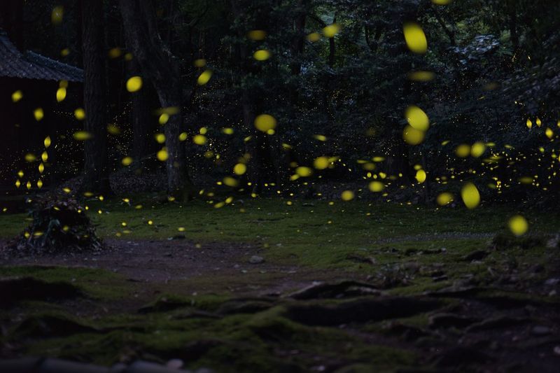 ホタル 蛍 ヒメボタル The Great Outdoors - 2016 EyeEm Awards EyeEm Nature Lover Bokeh Firefly Japan