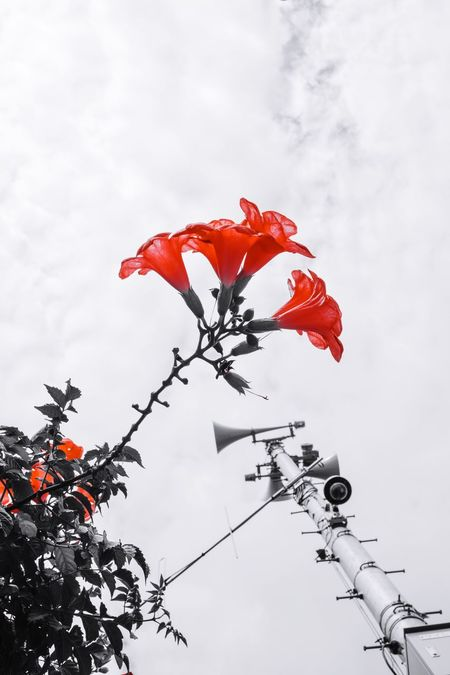 Flower Growth Plant Fragility Freshness Stem Beauty In Nature Nature Close-up Flower Head Sky Petal Botany Red Day In Bloom Plant Life Blooming Growing Single Flower