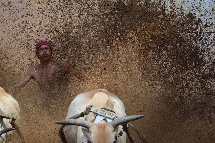 Eyeemphoto In a race where there's no stopwatch, no opponents.... everybody is a winner. Bull Race Pacu Jawi Ride Bull Paddy Field Mud Race Couple Jockey Stride Success Finish Line  Traditional Travel Attraction Tanah Datar Sumatra  INDONESIA