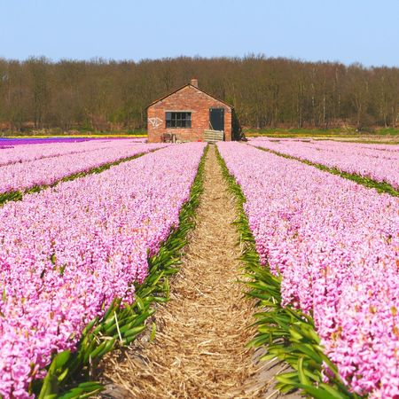 Violet By Motorola Netherlands Spring Flowers Flower Bulbs Violet Bulbs Nature_collection Rural Scenes Violet Flowers Scenery Shots EyeEm Nature Lover Enjoying The View