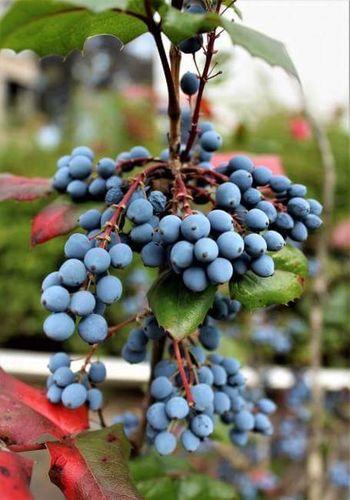 Fruit Grape