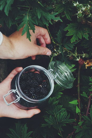 picking blackberries Man Human Body Part Human Hand Harvest Harvesting Picking Blackberry Blackberries Human Hand Drink Leaf Holding Close-up Plant Personal Perspective