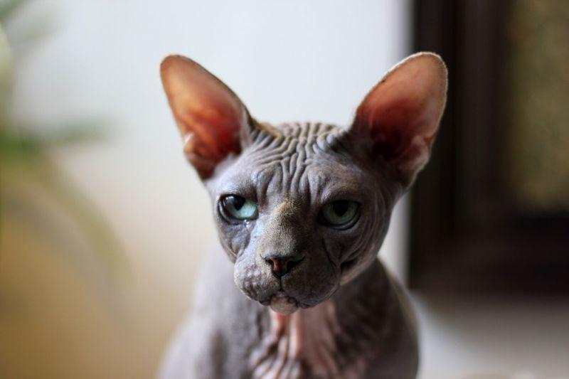 Close up image of a cat with no fur
