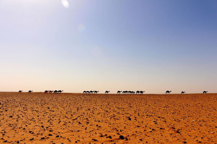 Scenic view of silhouettes of camels in desert against clear sky
