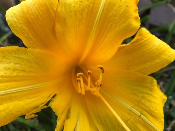 iPhone 7 Flower Petal Fragility Flower Head Beauty In Nature Nature Yellow Growth Freshness Stamen Pollen Close-up No People Plant Outdoors Day Blooming Day Lily