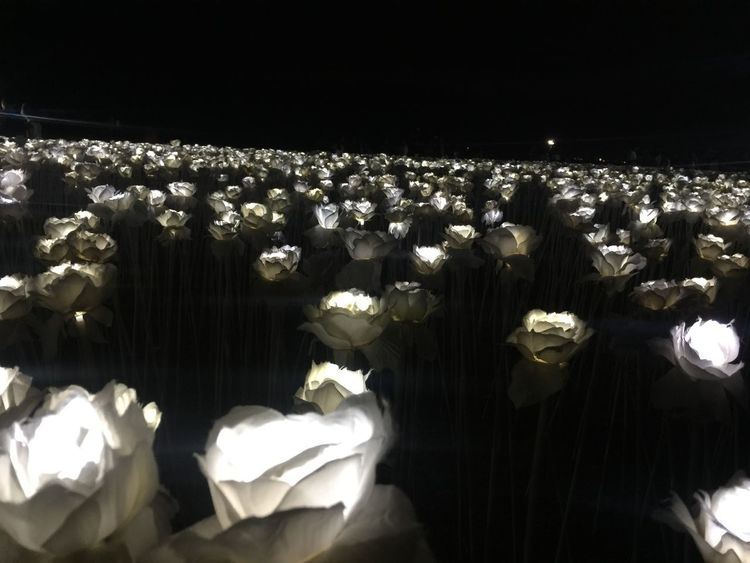 10,000 Roses @ night Roses At Night 10000 Roses Flower Nature Beauty In Nature Growth Petal No People EyeEmNewHere Plant Fragility Flower Head Night Freshness Outdoors Close-up