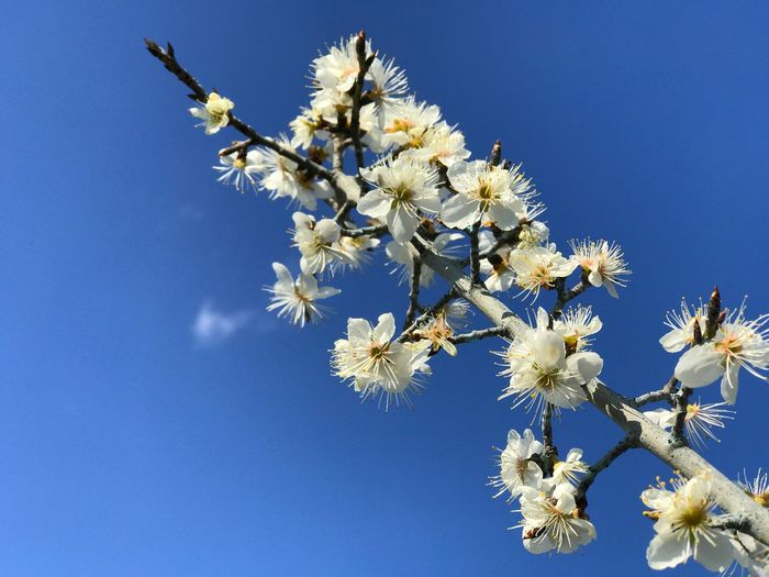 cherry flower Sky Plant Beauty In Nature Clear Sky Low Angle View Flower Blue Flowering Plant Nature Fragility Tree Vulnerability  No People Growth Freshness Branch Day Springtime Blossom White Color