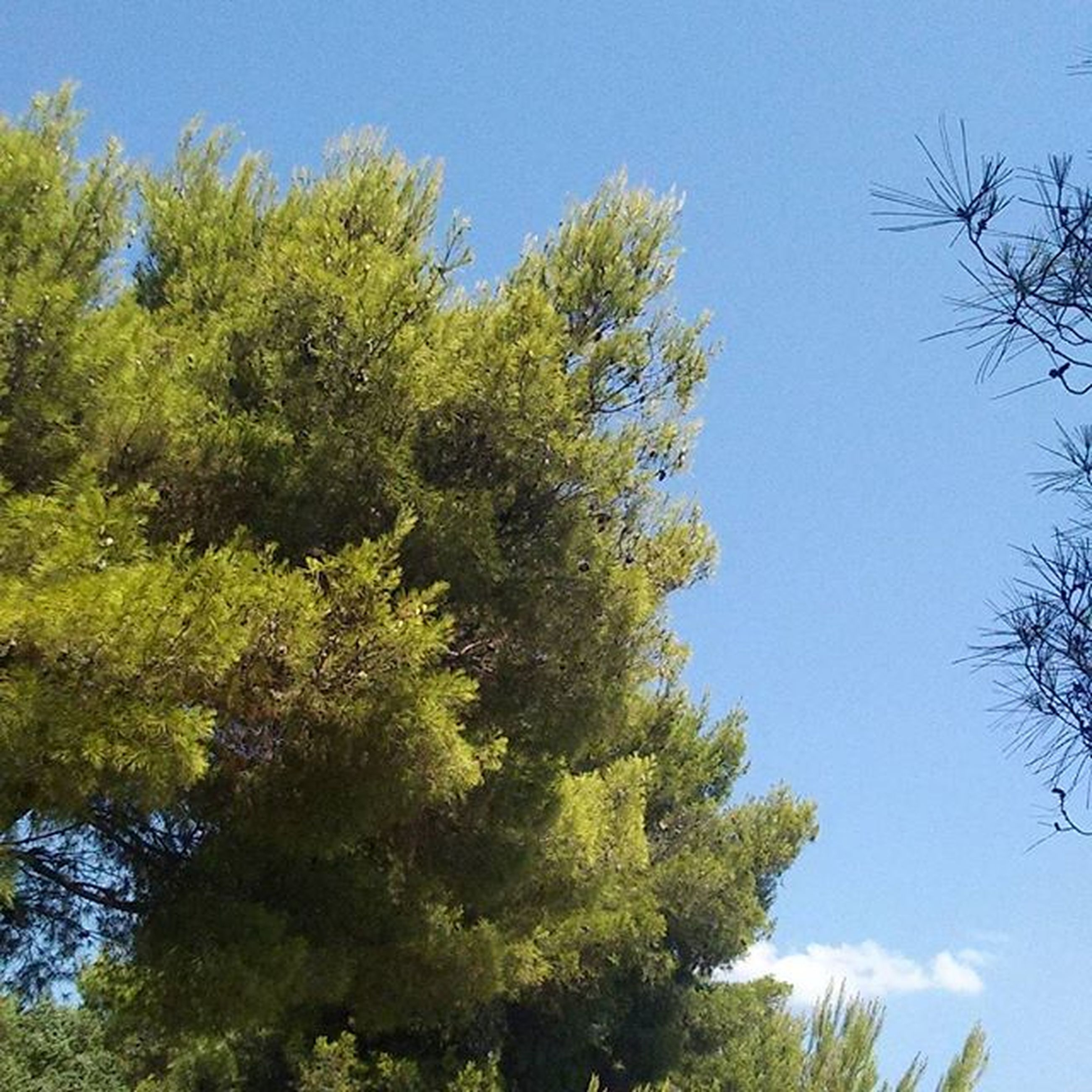 tree, low angle view, clear sky, blue, growth, tranquility, branch, green color, beauty in nature, nature, tranquil scene, scenics, sky, day, green, sunlight, no people, lush foliage, outdoors, idyllic