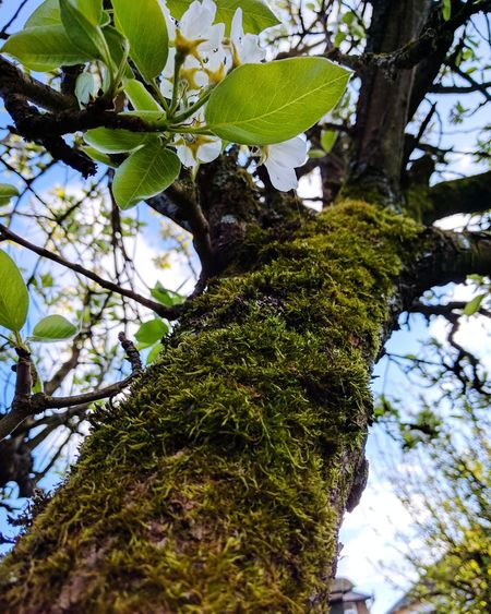 Things Are Looking Up Pear Blossom Pear Tree  Blossom Tree Tree Trunk Growth Low Angle View Branch Nature Green Color Day Outdoors Beauty In Nature No People Sky Close-up Textured  Moss Beauty In Nature EyeEm Nature Lover Nature Tree Perspectives On Nature