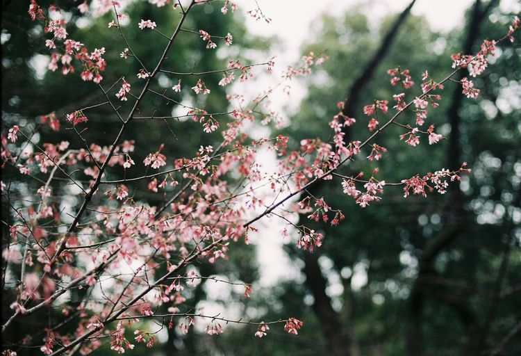 Sakura blossoms Sakura Sakura Blossom Sakura Flower Plant Tree Growth Beauty In Nature Branch Nature No People Flower Outdoors Close-up Flowering Plant Sakura Sakura Blossom Sakura Flower Plant Tree Growth Beauty In Nature Branch Nature No People Flower Outdoors Close-up Flowering Plant Blossom Beauty In Nature