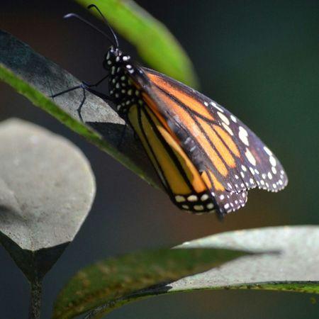 Butterfly EyeEm Nature Lover EyeEm Best Shots - Nature Nature_collection Nature_perfection Beautiful Nature Naturelovers Mariposas Monarcas