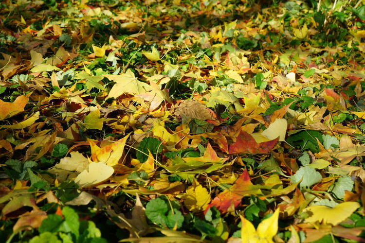 Close-up of fallen maple leaves on field