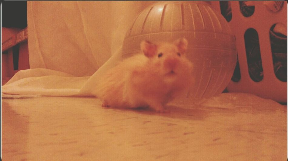 I has coot face..! Hi! Cute Pets Adorable Hamster Syrian Hamster  Cuteness Hamster Love Cheese! Love