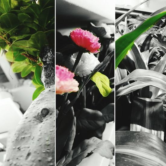 Another take to selective coloring. Taking Photos Selective Color Plants Carnation Flowers IKEA Texas Fun