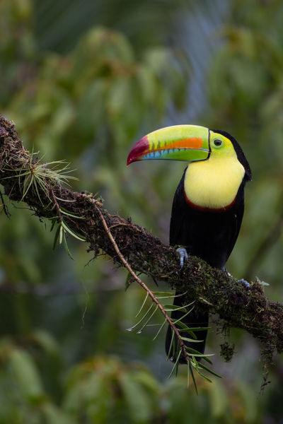 Animal Themes Animal Wildlife Animals In The Wild Beak Beauty In Nature Bird Close-up Day Focus On Foreground Green Color Hornbill Nature No People One Animal Outdoors Perching Tucan