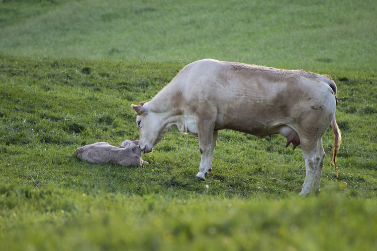 Cow standing by calf on land