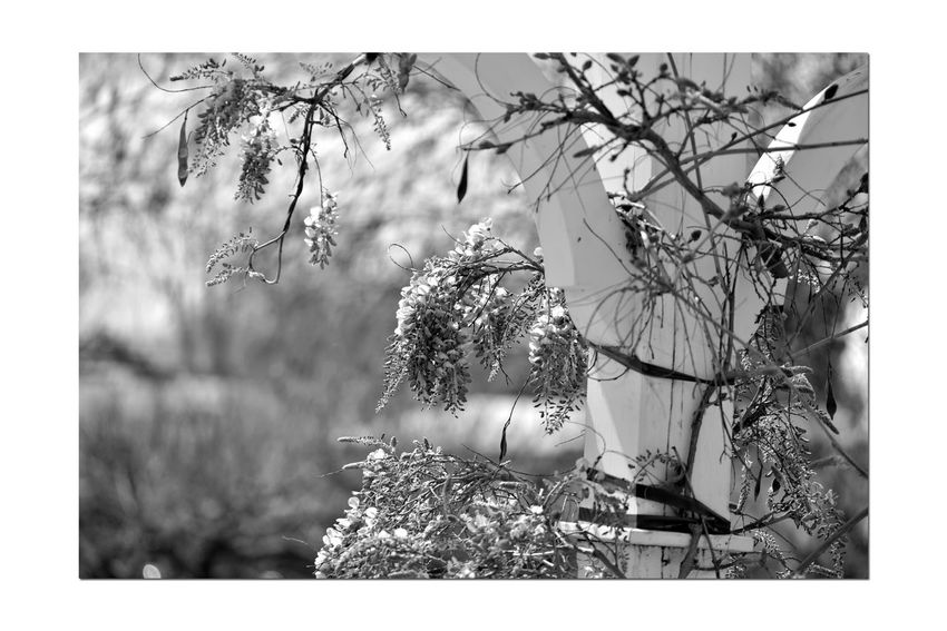 Early Spring At Meek's Garden 2 Estate Gardens Meek Mansion Cherryland, Ca. Early Spring Wisteria Wisteria Sinensis Fabaceae Flowering Vine Early Bloomer Pergola Bnw_friday_eyeemchallenge Bnw_springtime monochrome photography Monochrome Garden_collection Flowers Blooms Black & White Black & White Photography Black And White Black And White Collection  Nature Beauty In Nature Nature_collection Spring Awakens Landscape_Collection Flower Head