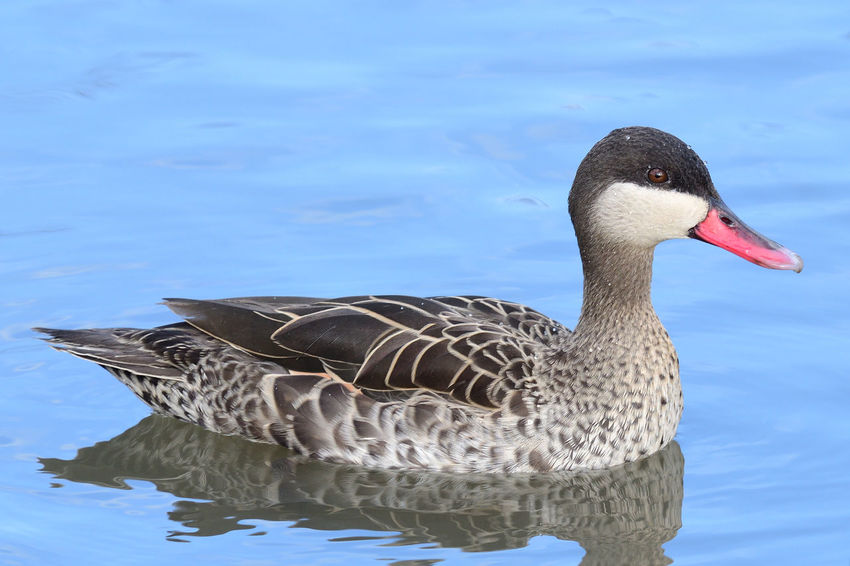 Animals In The Wild Check This Out EyeEm Best Shots EyeEm Nature Lover Low Angle View Nature Reflection Swimming Taking Photos Water Reflections Animal Themes Animal Wildlife Bird Birds Close-up Day Duck Nature_collection No People One Animal Outdoors Portrait Red Billed Teal Water Water Bird