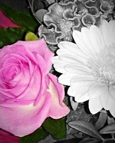 Flower Pink Color Rose - Flower Peony  Flower Head Indoors  Nature Abstract Black And White Photography Black & White Noir Et Blanc Schwarz-Weiß Jeu De Couleur Coleurs Color Game Colorful