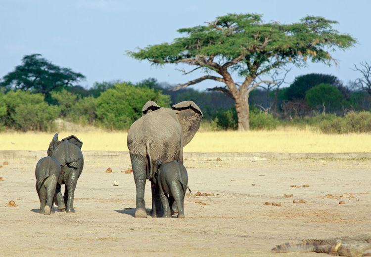 Elephants Walking On Field Against Sky