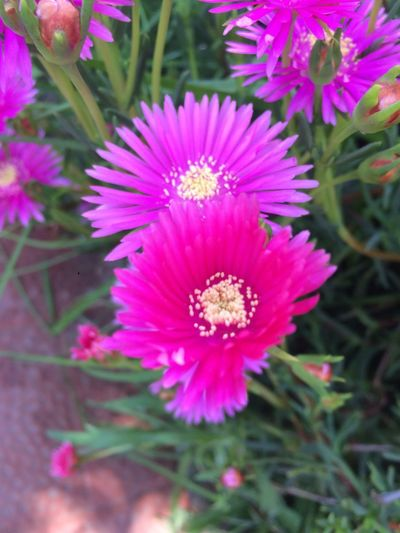 Rayitos de 🌞 Flower Flowering Plant Plant Freshness Beauty In Nature Growth Vulnerability  Outdoors Selective Focus Flower Head Petal Pink Color