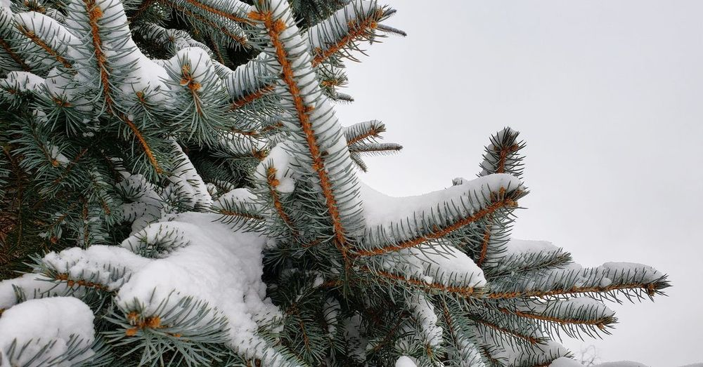 Low angle view of pine tree during winter