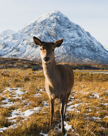 Portrait of deer standing on land against mountain during winter