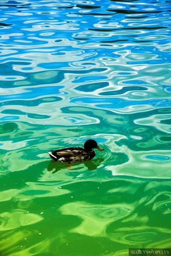 Título: Renoir V Autor: Marcus Populus Cámara: Sony ILCE 6000 Punto F: f/8 Tiempo de exposición: 1/125s Velocidad ISO: 100 Distancia focal: 50mm Animal Animal Themes Animal Wildlife Nature No People Swimming Water Young Animal