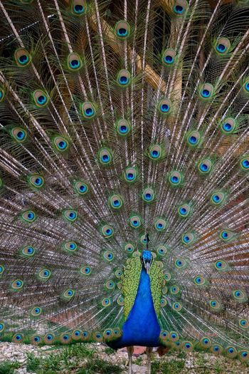 Peacock / Market version Peacock Animal Themes Bird Animal Wildlife Feather  Peacock Feather Animal No People Fanned Out Multi Colored Vertebrate Beauty In Nature Male Animal Full Frame Animals In The Wild Pattern One Animal Backgrounds Blue Day