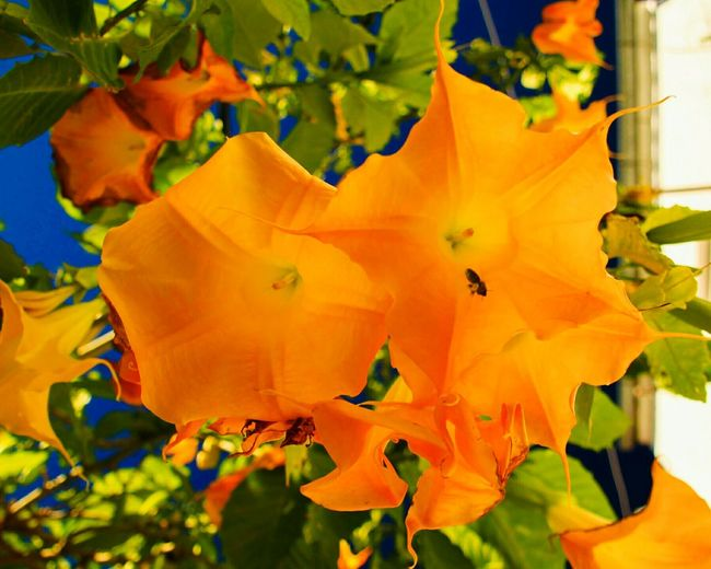 Orange Color Nature Growth Close-up Fragility Yellow Beauty In Nature Flower Leaf No People Outdoors Flower Head Freshness Day Big Flowers Bees And Flowers Bee Sky