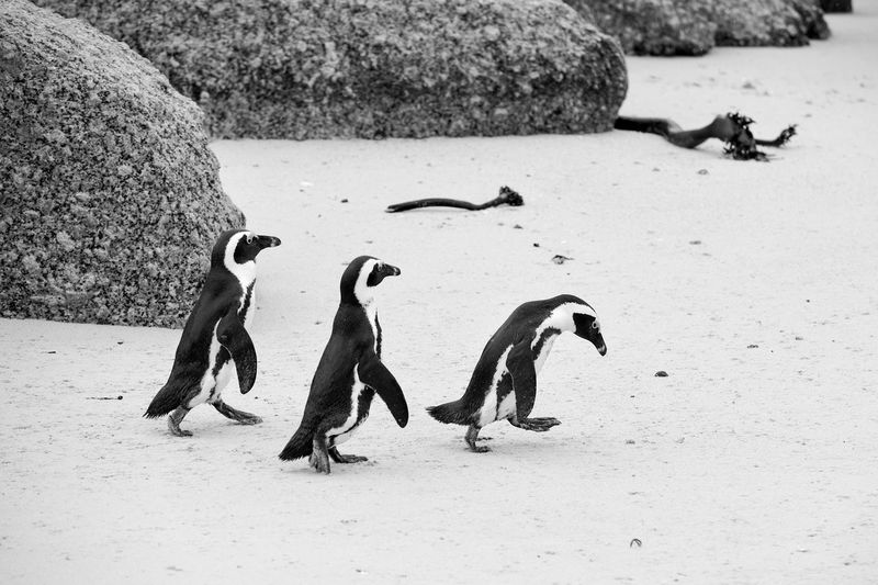 High angle view of penguins on sand