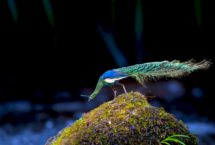 Elegant male peacock on a rock covered with moss Animal Wildlife Animal Animals In The Wild One Animal Animal Themes Focus On Foreground Close-up Invertebrate No People Nature Green Color Insect Vertebrate Plant Solid Moss Beauty In Nature Rock Day Tank Marine