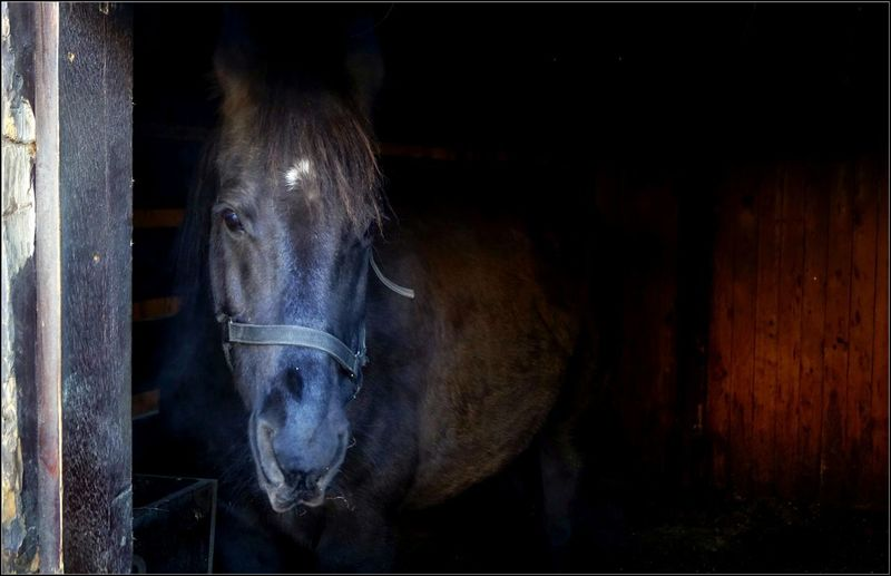 Animal Head  Animal Themes Barn Close-up Day Domestic Animals Horse Livestock Looking At Camera Mammal No People One Animal Outdoors Portrait Stable Standing